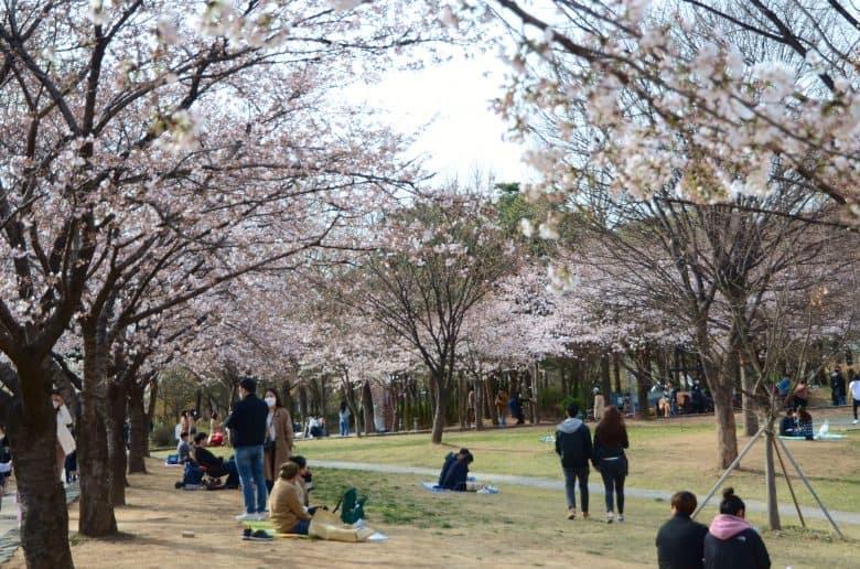 首爾櫻花季節