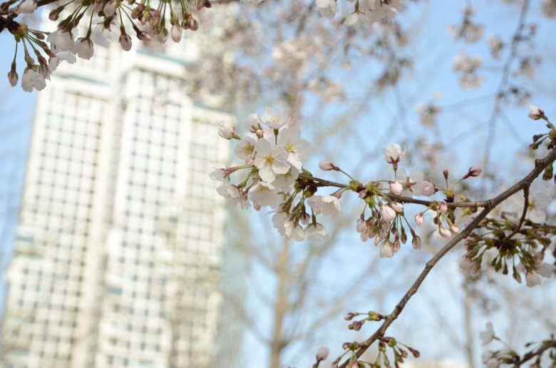 首爾櫻花季